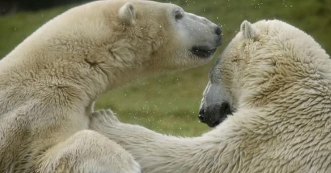 Случаите на канабализъм, регистрирани сред полярните мечки в руския Арктик,