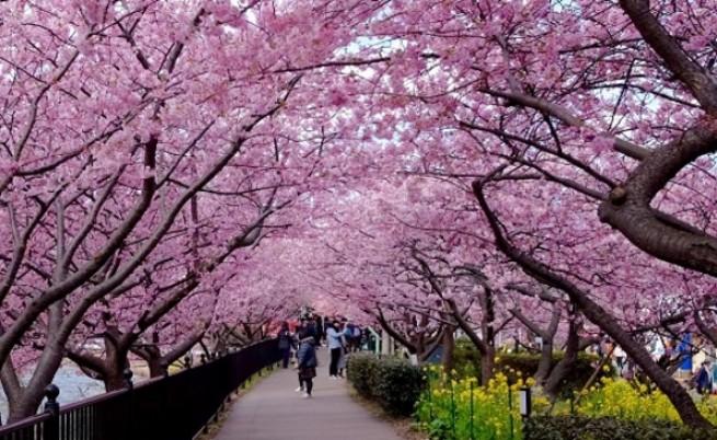 И замириса на пролет в Япония. Вижте красотата