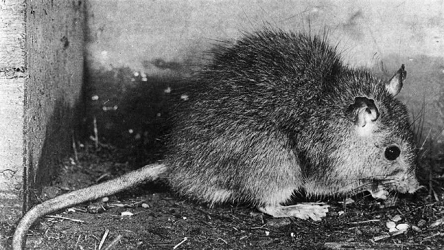 Съществуват ли плъхове царе и опасни ли са за нас