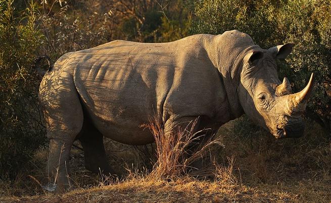 Бракониери застреляха четиригодишен носорог в зоопарк