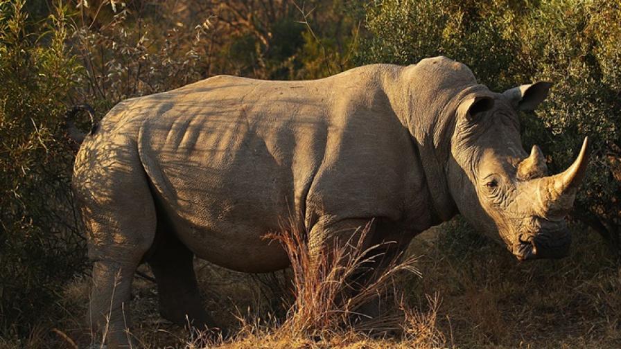 Бракониери застреляха 4-годишен носорог в зоопарк