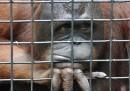 Орангутански бокс в Тайланд шокира света