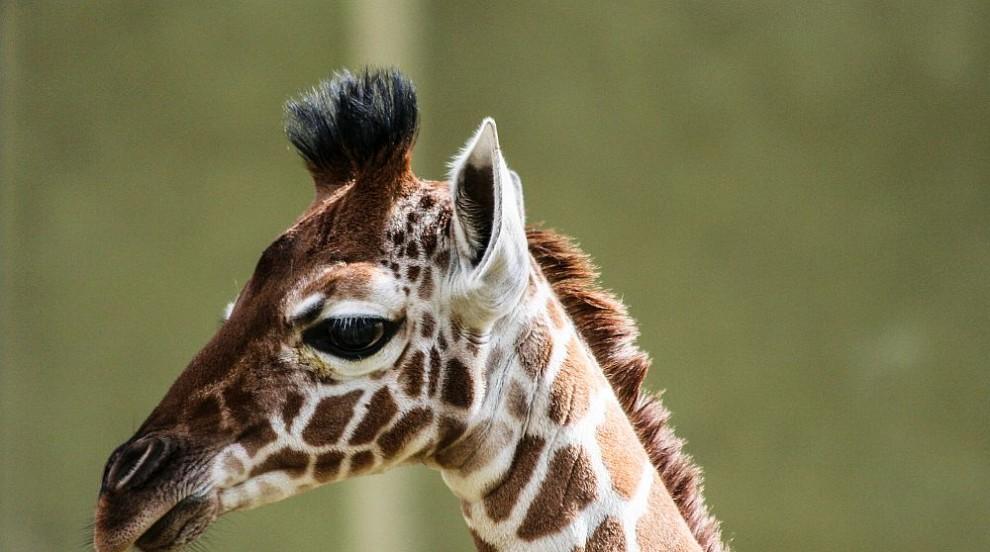 Жирафче се роди в зоопарка във Филаделфия (ВИДЕО)