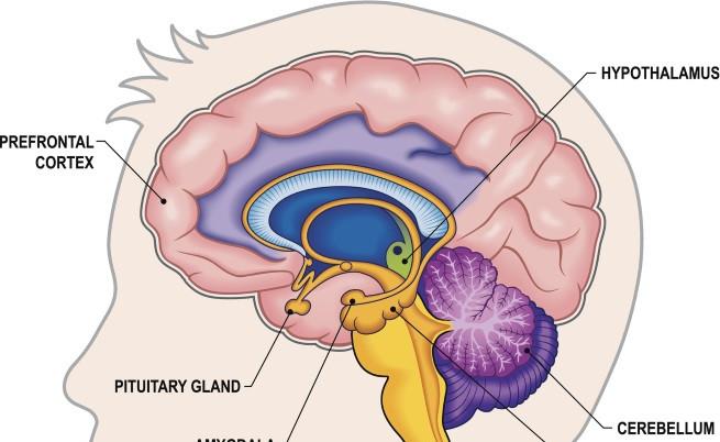 Prefrontal cortex - префронтална кора