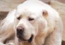 Кучета на общински съветник разкъсаха друго в центъра на Мездра