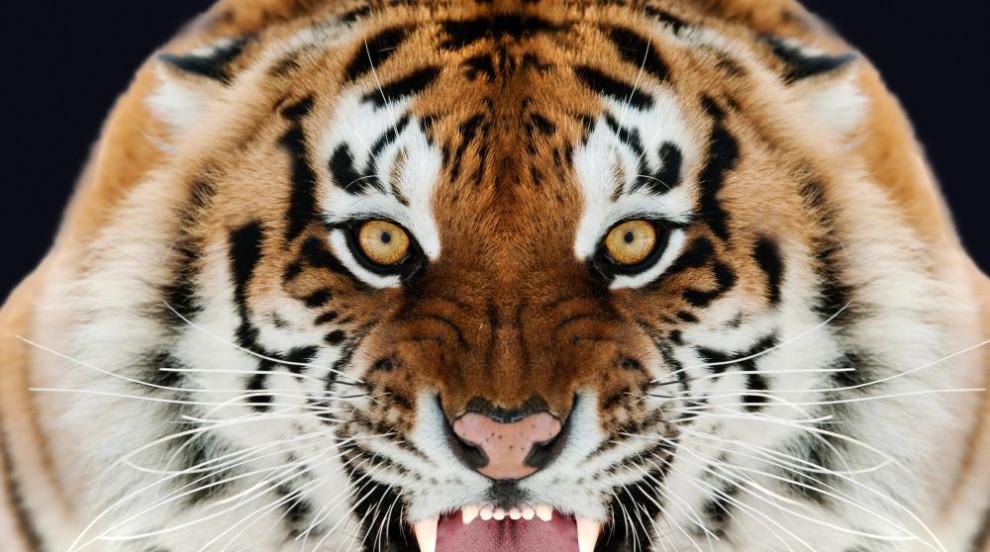 Тигър уби служителка на зоопарк във Великобритания (СНИМКИ)