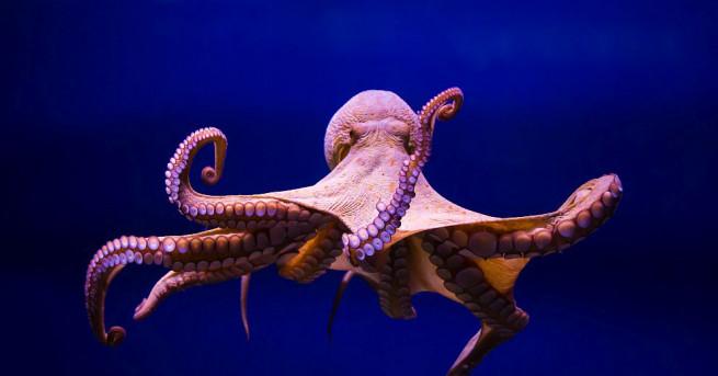 Октопод успя да запечата удивителни кадри - с откраднатата камера