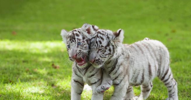 Куче започна да кърми четири изоставени от майките им тигърчета