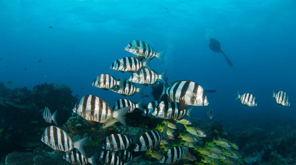 Рибата зебра изуми учени