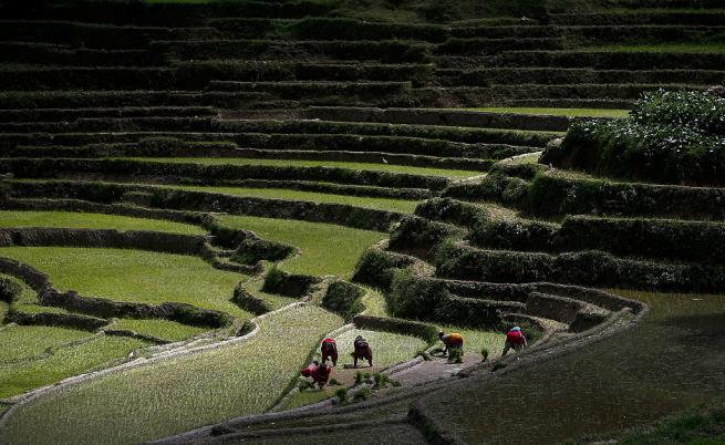 Генномодифициран ориз ще намали недостига на храна