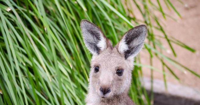 Изоставено бебе кенгуру е отново сред себеподобните си, след като