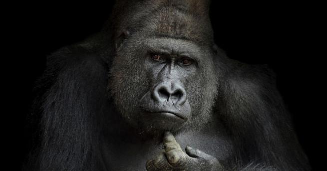 Момиче се сприятели с горила в зоопарк в Кентъки, като