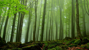 Beech forests