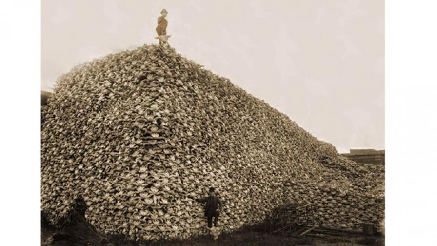 Как от милиони бизоните в САЩ станаха стотици
