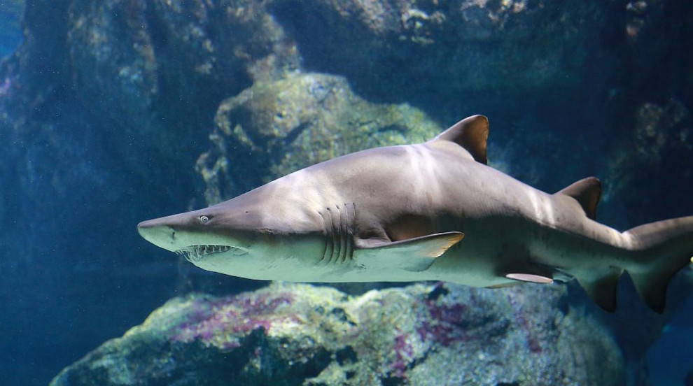 Акула позволи на водолаз да я гали (ВИДЕО)
