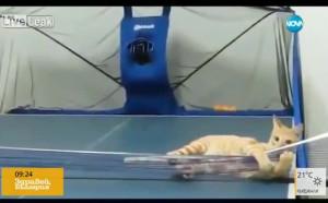 Спорт на нокти: Котка играе пинг-понг