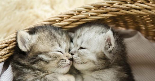 Малките котета Пърсил и Дейз се промъкнали в коша за