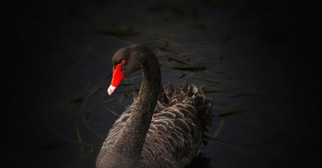 Самотен женски черен лебед си намери партньор след като служители