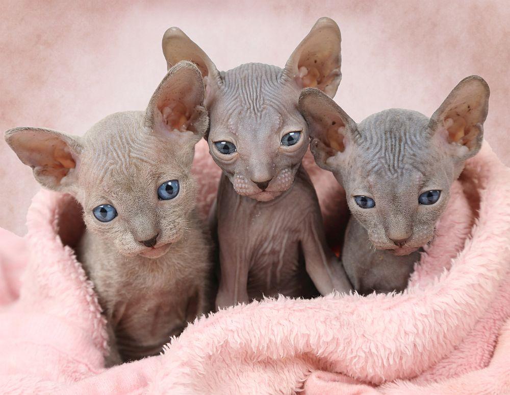 """Странната красота на котките от породата """"Сфинкс"""" има колкото почитатели, толкова и критици. Някои смятат животинчетата без козина за зловещи и приличащи на извънземни, а други са категорични, че са мили и симпатични домашни любимци."""