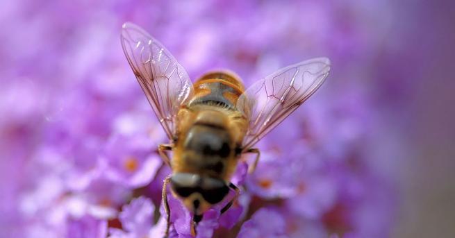 От години природозащитници предупреждават, че пчелите измират и привличат вниманието