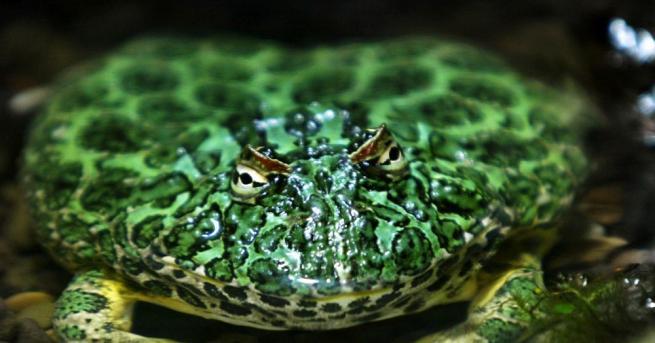 Австралийски учени телефонират на жаби, за да ги преброяват и
