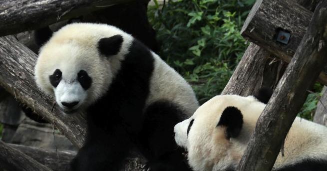 Ревът на гигантската панда разкрива самоличността на животното на съседите
