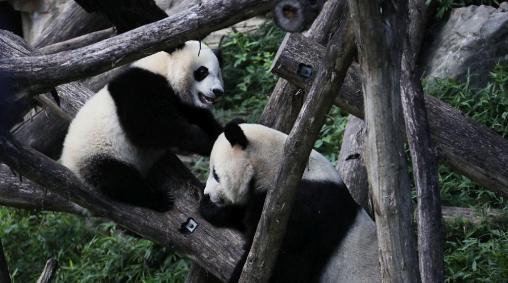 Новородените в берлинския зоопарк панди близначета растат бързо (ВИДЕО)