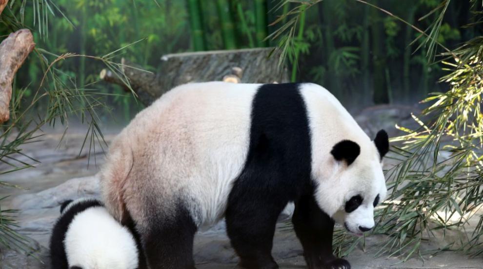 Момиченце падна в ограждението на пандите в Китай (ВИДЕО)