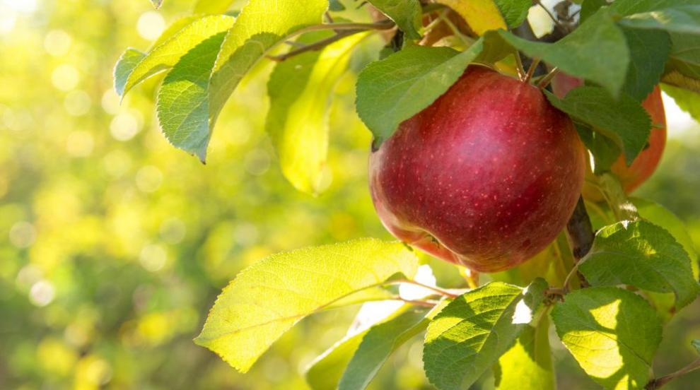 В Англия ще спасяват 200-годишно ябълково дърво