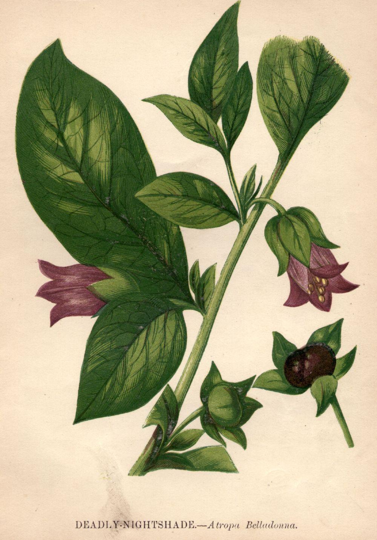 """Беладона за """"блестящ поглед"""": Въпреки фактът, че токсичните свойства на растението Беладона, са били известни в миналото, благородните италианци и други европейски жени не са се страхували да използват специални капки с него. Екстрактът от растението разширявал зениците, а това се смятало, че придава на погледа дълбочина и блясък. Редовното използване на Беладона за тази цел водела до зрителни увреждания и дори слепота.</p>"""
