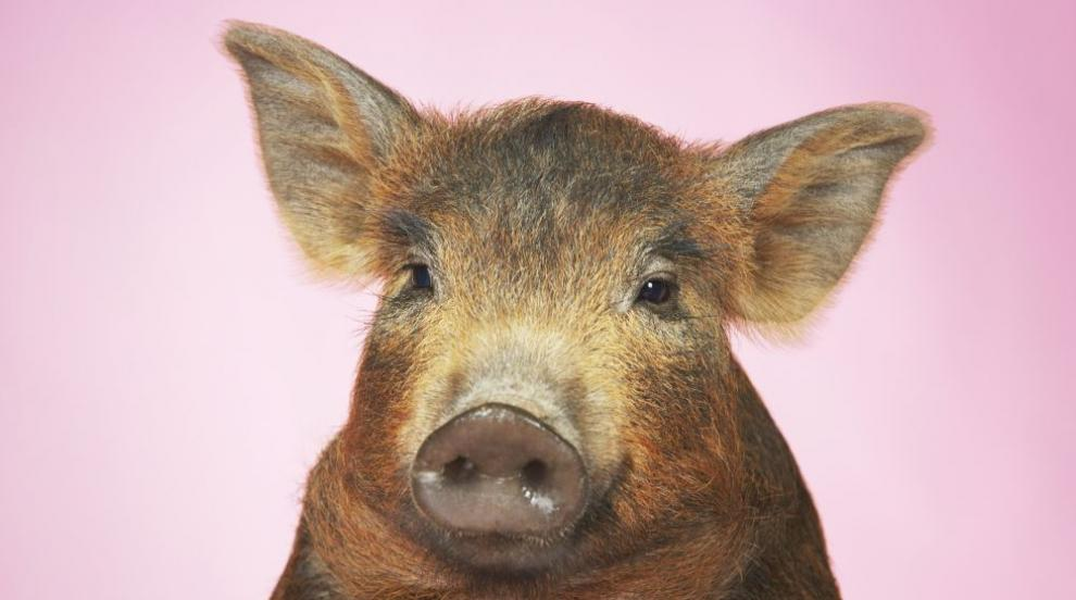 В частен двор в Добрич отглеждали 150 прасета без никакви мерки за...