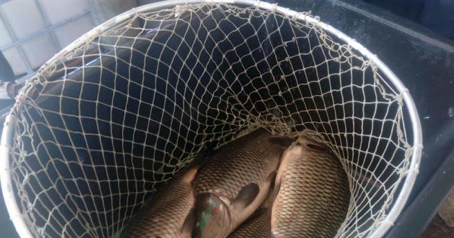 Иззеха 83 кг незаконно уловен шаран в близост до язовир