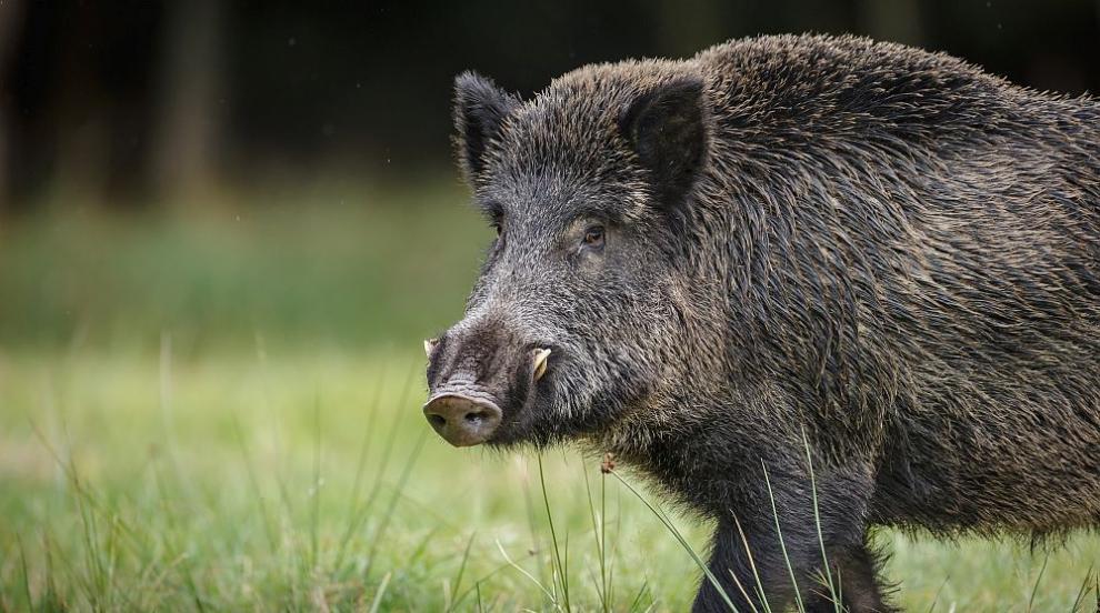 Ново огнище на Африканска чума в стадо ''Източнобалканска свиня''