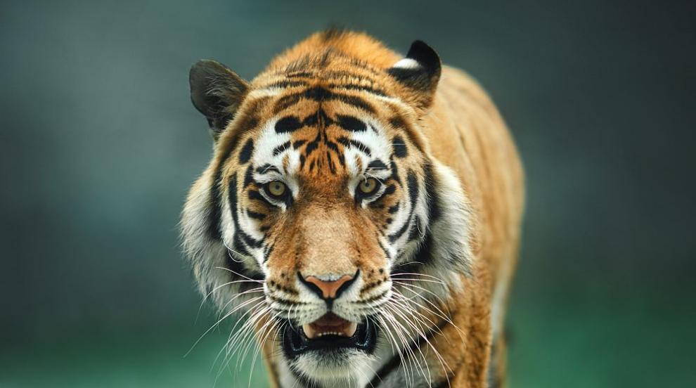 Тигър нападна двегодишно дете Тайланд