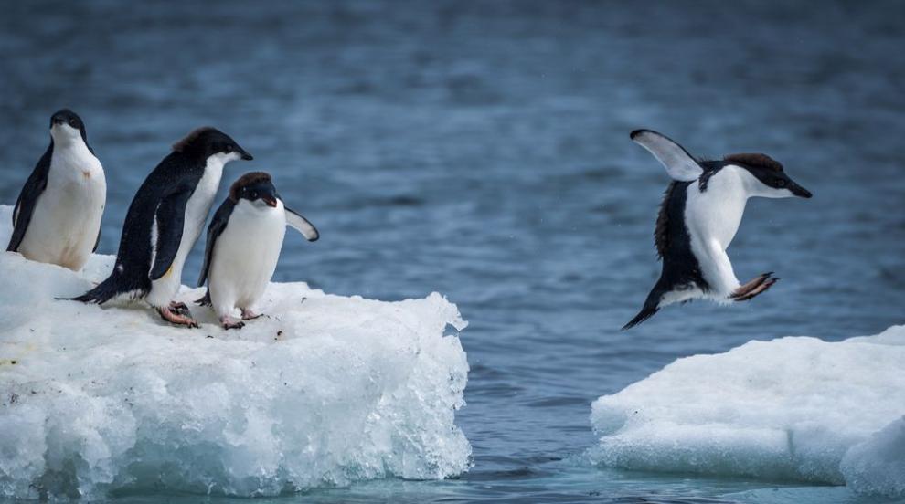 Пингвините в Антарктида изчезват, броят им е намалял със 77%