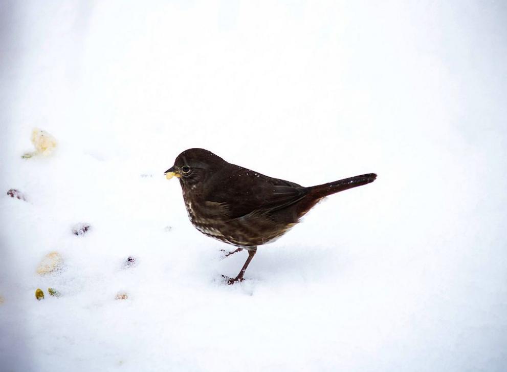 сняг врабче
