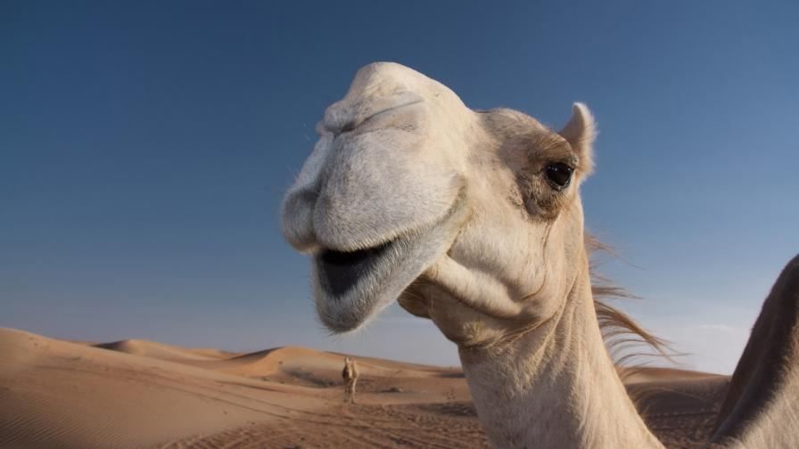 Изгониха камили от конкурс за красота заради ботокс