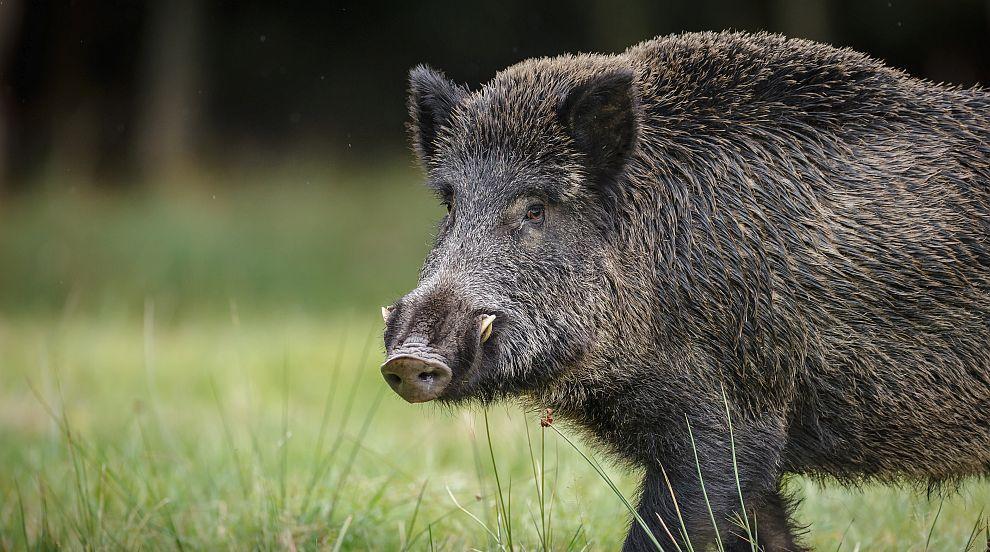 Ново огнище на Африканска чума по свинете в Смолянско
