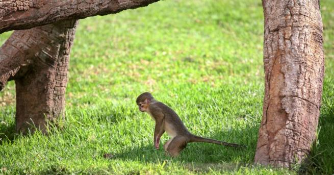 Размерът е от значение за представителите на вида Дългоноса маймуна