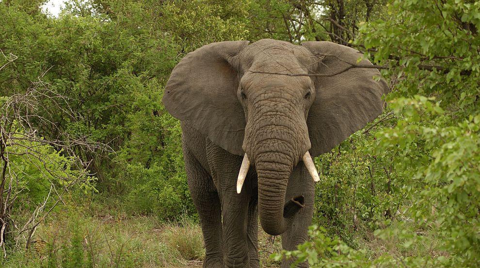 Гладен слон нападна туристка
