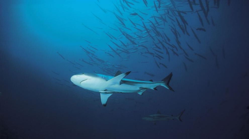 Учени откриха нов вид акули, почти като персонажи от анимация (СНИМКА/ВИДЕО)