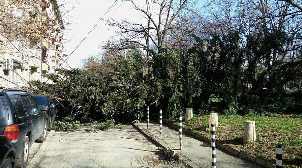 Силният вятър повали дърво в софийски парк (СНИМКИ)