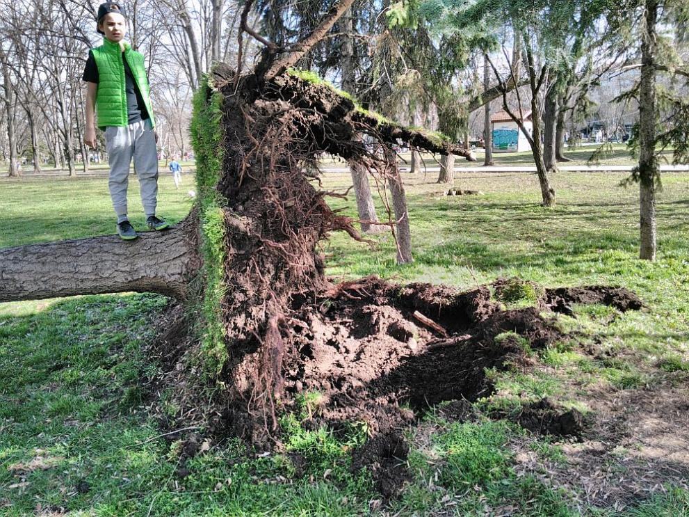паднало дърво