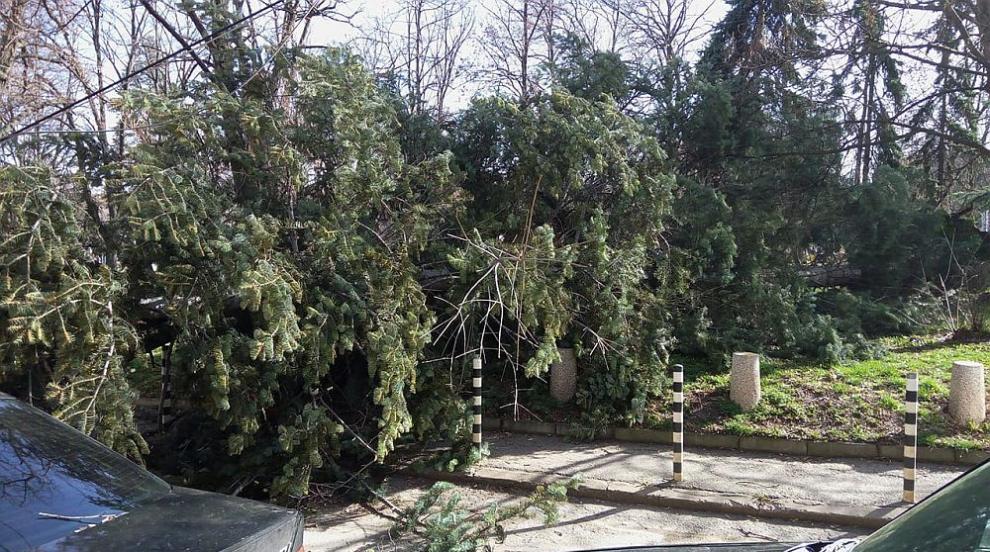 Близо 50 сигнала за паднали клони и дървета в столицата за часове