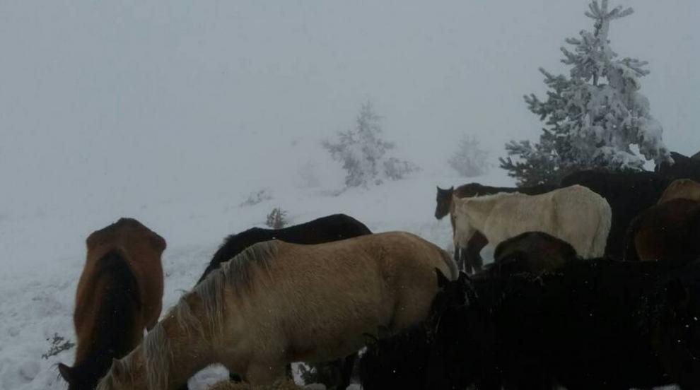 260 000 лева субсидии получил собственикът на мъртвите коне в Осоговския...