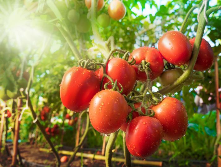 <p>Доматите са много богат източник на&nbsp;<strong>антиоксиданти</strong>. Тъй като основният каротиноид, органичният пигмент в доматите - ликопенът, е мастноразтворим (т.е. за за усвояването му, което става по&ndash;бавно, в храната трябва да има мазнини), е добре доматите да бъдат овкусявани със зехтин или друга полезна мазнина.</p>