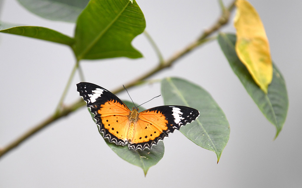 Изложба на пеперуди в Природонаучния музей в Лондон, Великобритания. Изложбата ще продължи до 16 септември 2018 г.