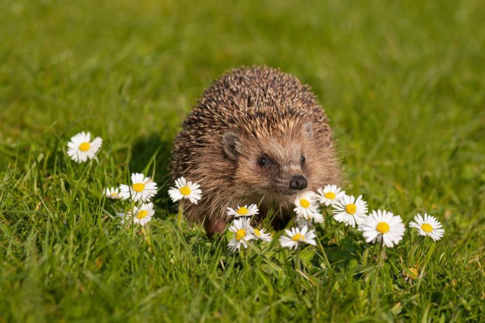 пролет таралеж