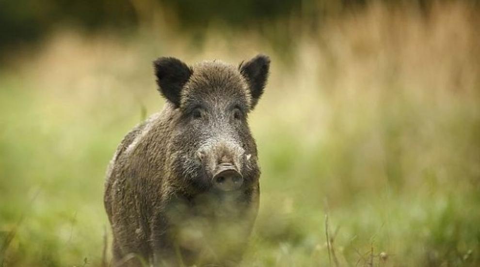 Нови мерки срещу чумата по свинете