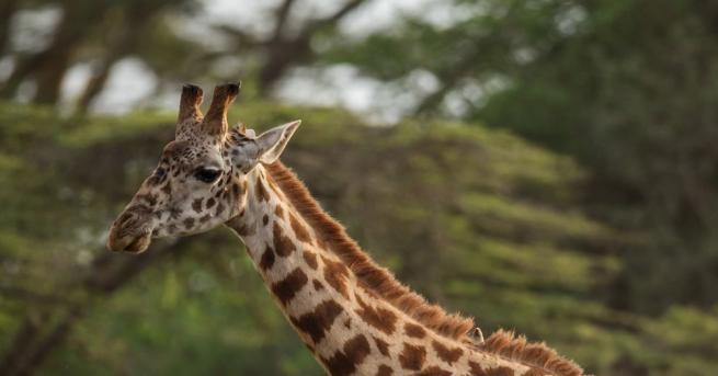Възрастен жираф се удави след обилни дъждове в югозападен Нигер,